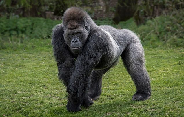 a silverback male gorilla stands on some grass