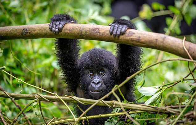a baby gorilla holds a branch